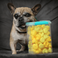No More Ducky Dinners For Beefcake Lort Smith Animal Hospital
