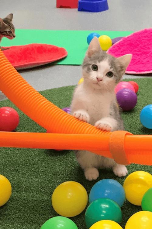 Kitten Kinder Lort Smith Animal Hospital