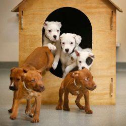 Lort Smith staffy cross puppies